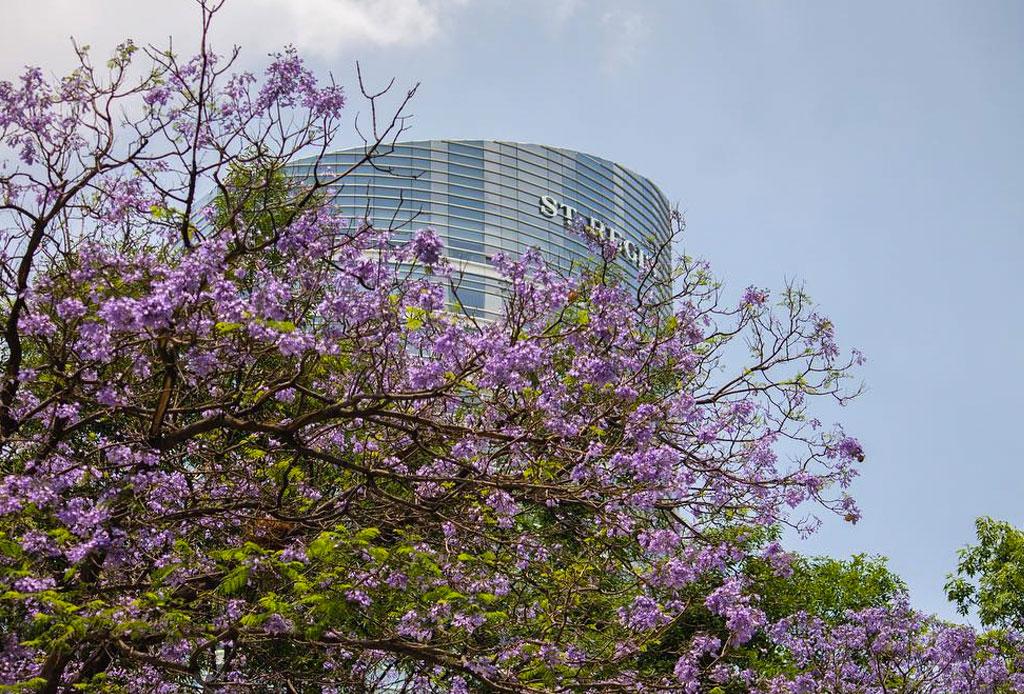Instagram se tiñe de color violeta con más de 70,000 fotografías de jacarandas