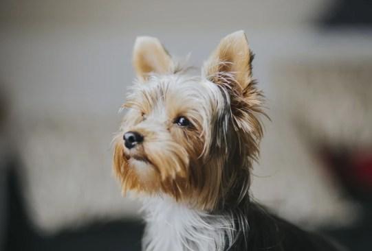 Las mejores razas de perros para vivir en departamento - razas-perros-vivir-departamento-1-300x203