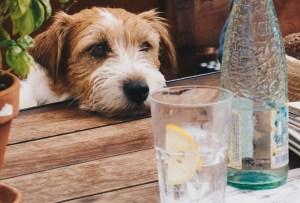 Bebidas que le puedes dar a tu perro además de agua