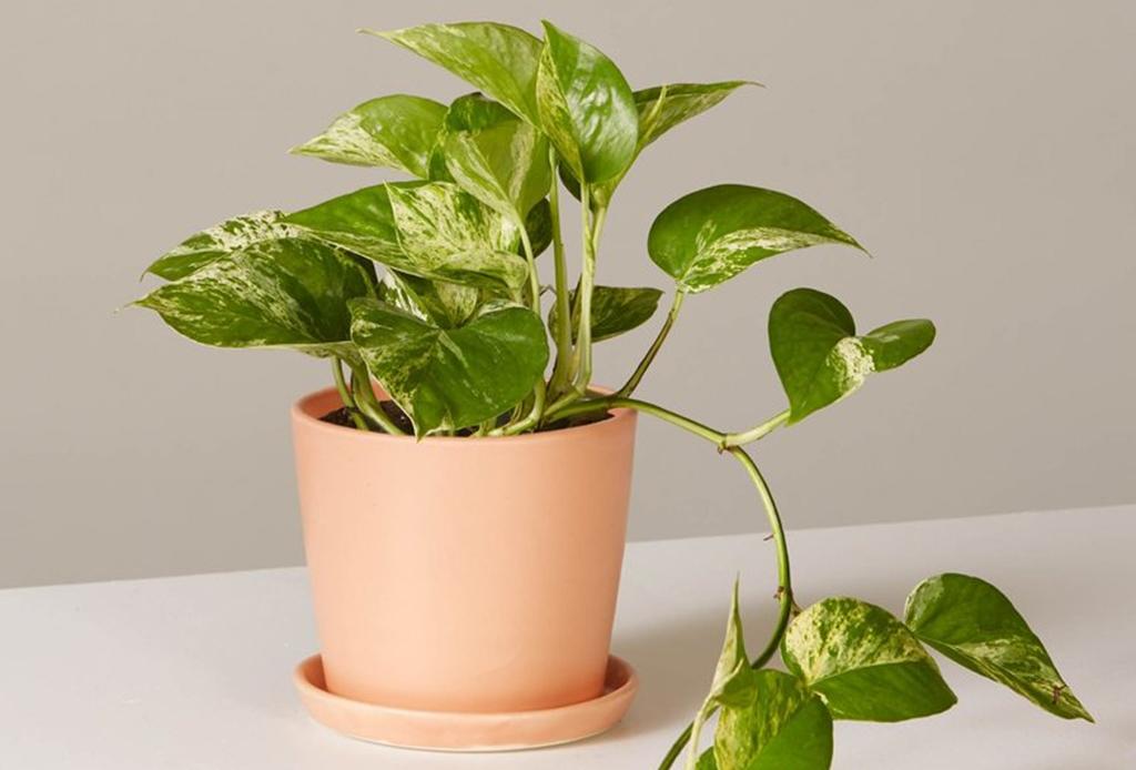5 consejos para convertir tu casa en un espacio eco-friendly - plantas-de-interior-pothos