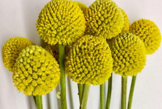 ¿Sabes cuáles son las flores favoritas de las mexicanos actualmente? Regálalas este 14 de febrero - craspedia-flores-favoritas-mexicanos-300x203
