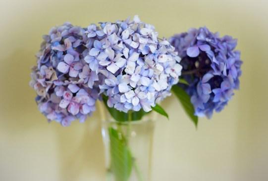 ¿Sabes cuáles son las flores favoritas de las mexicanos actualmente? Regálalas este 14 de febrero - hortensias-300x203