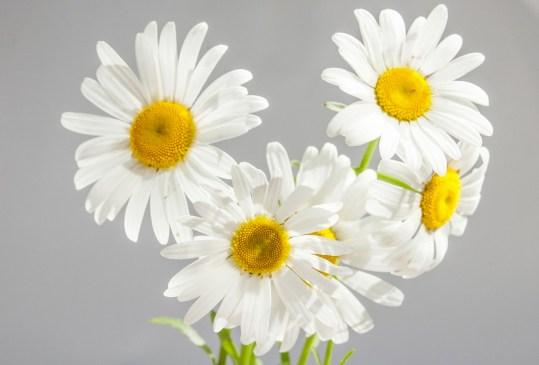 ¿Sabes cuáles son las flores favoritas de las mexicanos actualmente? Regálalas este 14 de febrero - margaritas-300x203