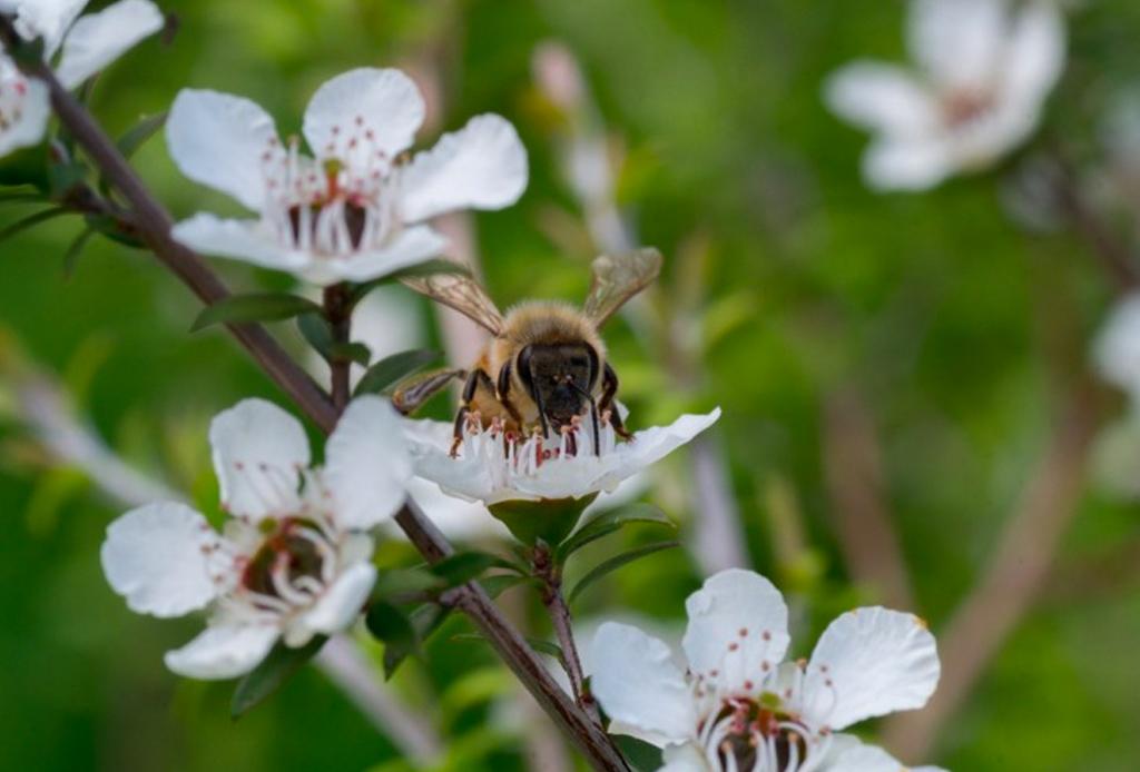 Conoce los beneficios de la miel Manuka - miel-manuka-3