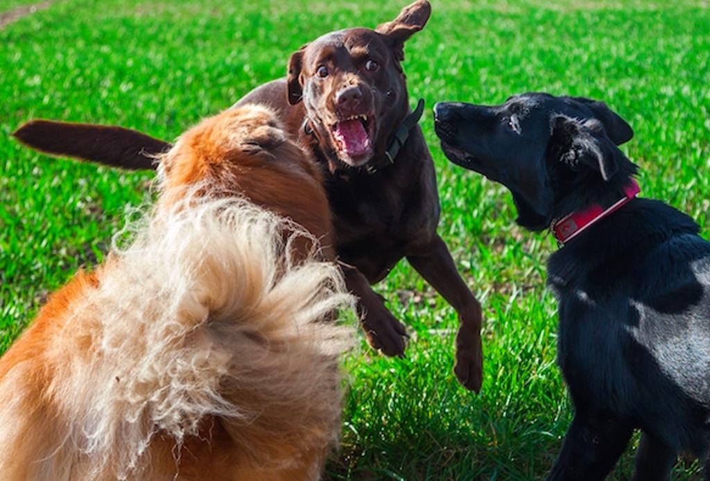 Cómo separar una pelea entre perros (y si deberías) - pelea-perros-3-1024x694