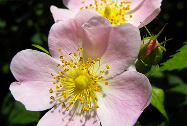 Los botánicos con mayores beneficios que debes buscar en tus productos de skincare - rosa-canina