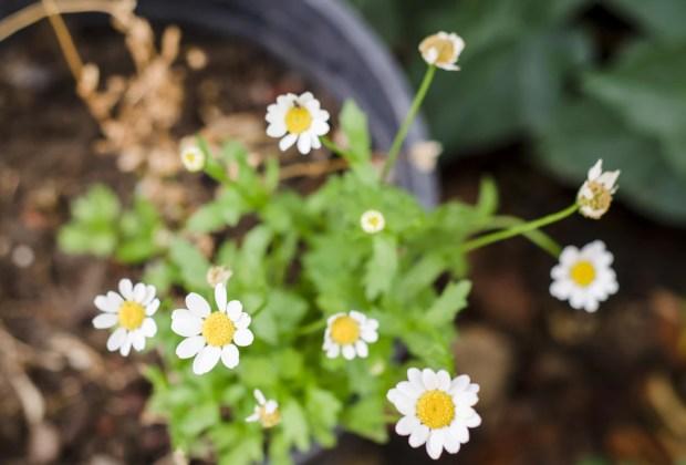 Remedios naturales que puedes tener en tu jardín - manzanilla