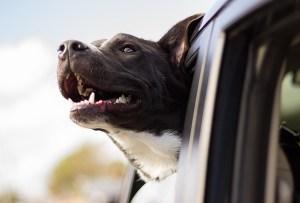 Las razas de perro ideales para viajeros, elige la mejor para ti