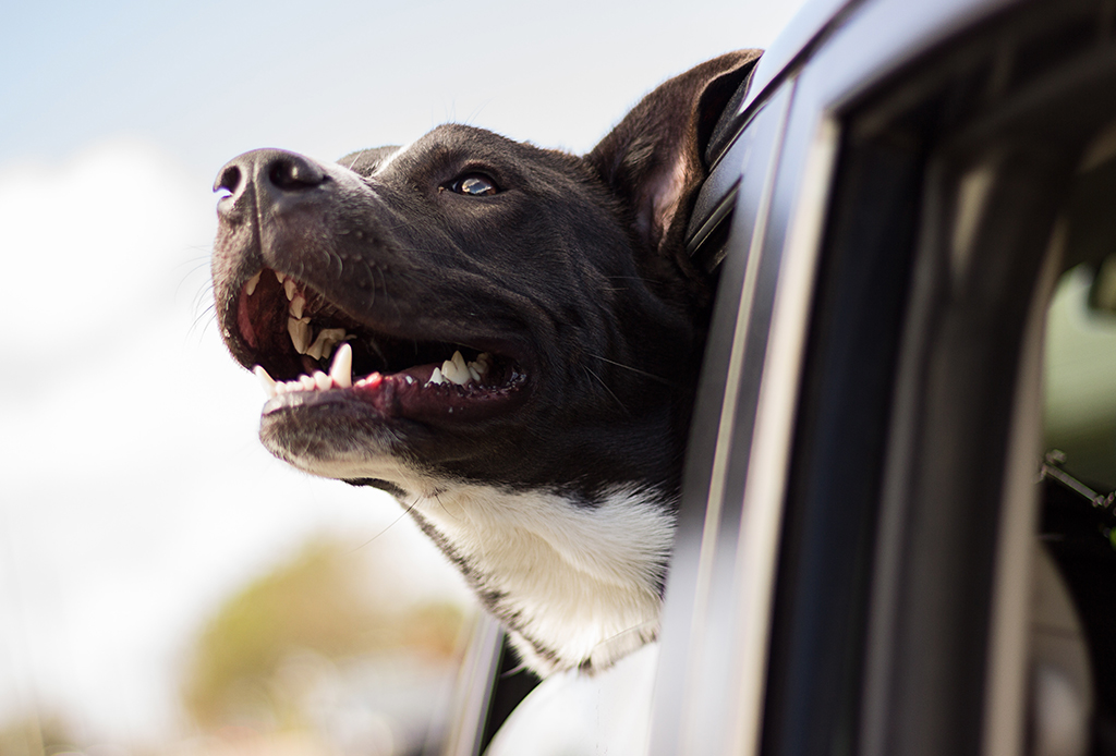 7 beneficios de adoptar un perro - perros-viajeros-1024x694