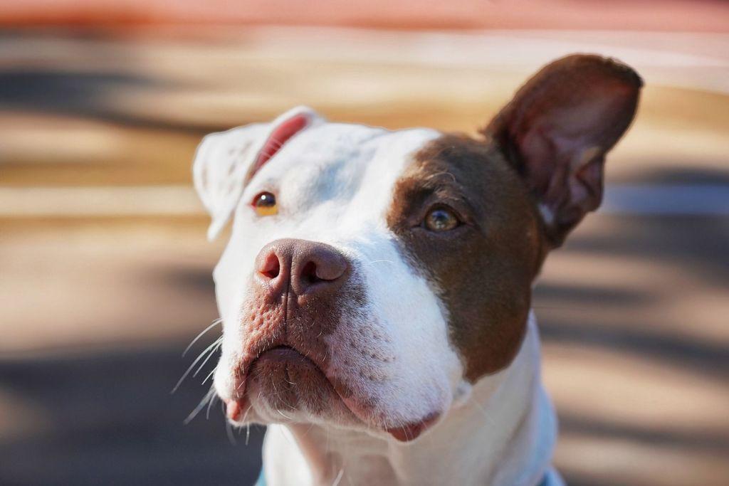 Así puedes ayudar a un perro adoptado a sentirse seguro en su nuevo hogar - perro-pitbull