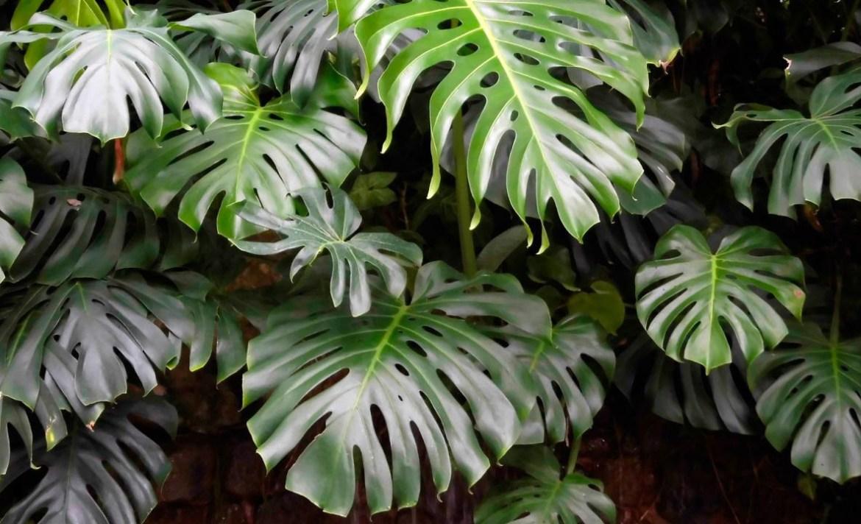 ¿Quieres entender el mundo de las plantas? Estas son las mejores para principiantes - costillas-de-adan-plantas-principiantes