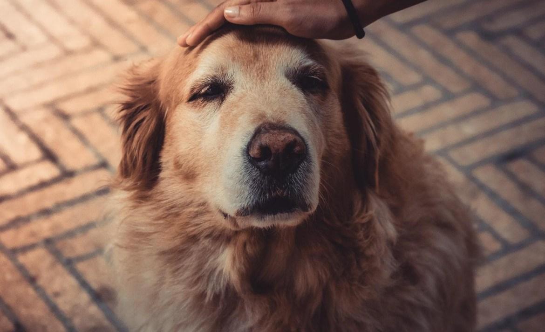 Si tu perro está envejeciendo, TIENES que seguir estos consejos - perro-labrador