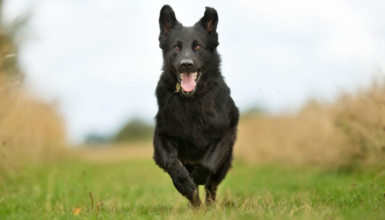 7 Juegos para entretener a tus perros en casa durante la cuarentena - perro-corriendo-juegos