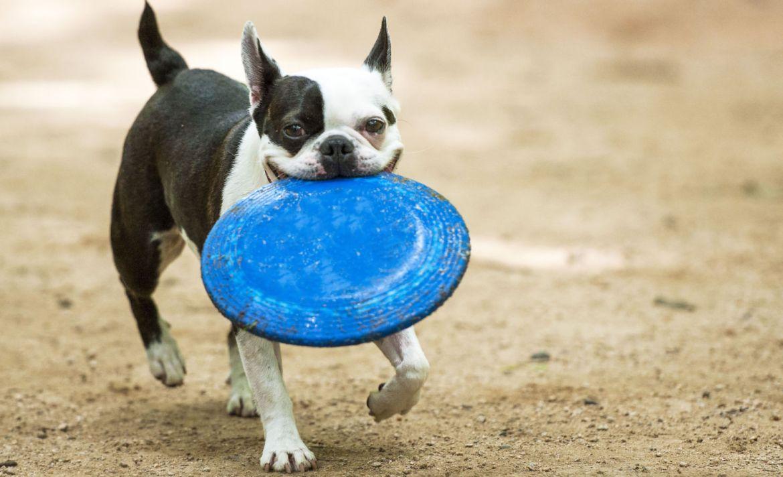 7 Juegos para entretener a tus perros en casa durante la cuarentena - perro-juguete-juegos