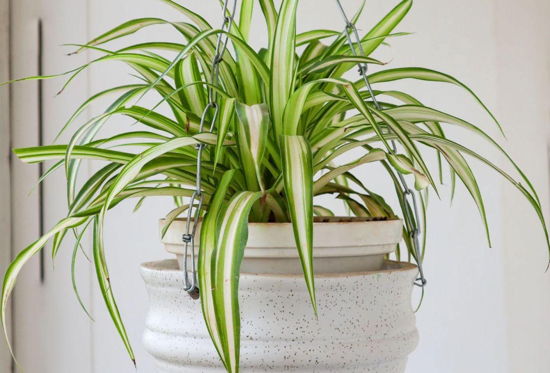 Las plantas colgantes más cool para tu casa, serán originales - plantas-para-colgar-cinta