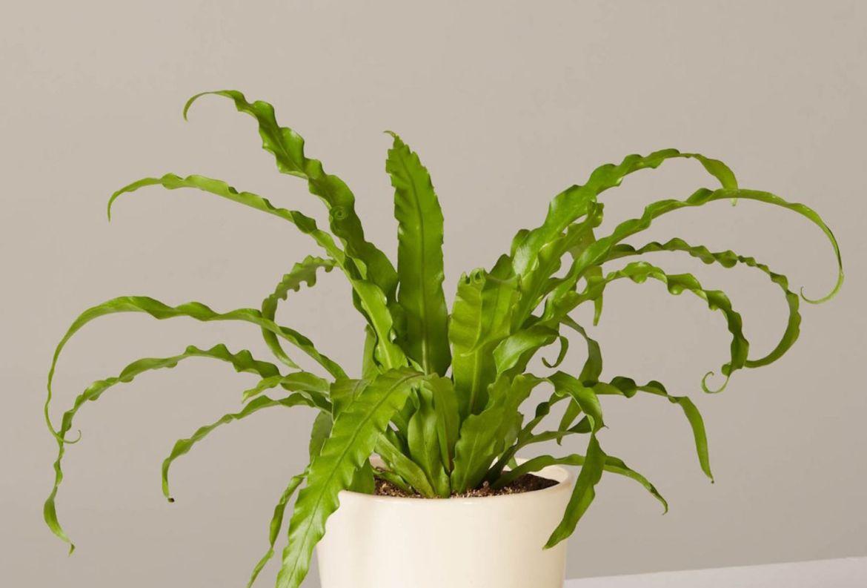 Las plantas colgantes más cool para tu casa, serán originales - plantas-para-colgar-helecho-nido-de-pajaro