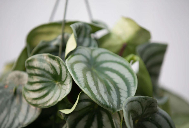 Las plantas colgantes más cool para tu casa, serán originales - plantas-para-colgar-peperomia