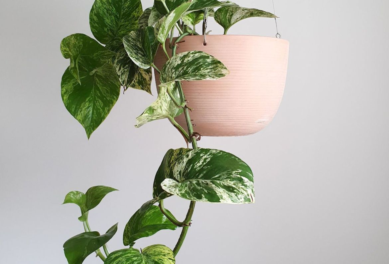 Las plantas colgantes más cool para tu casa, serán originales - plantas-para-colgar-pothos