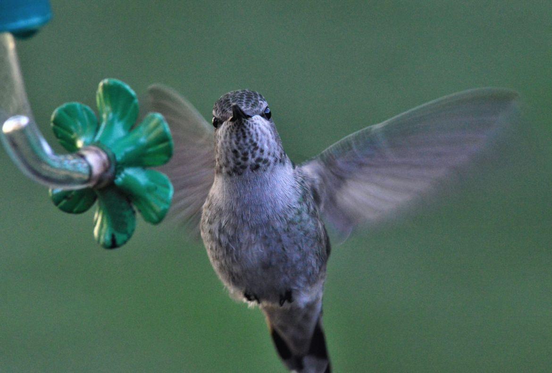 Aprende cómo atraer naturalmente los colibríes hacía tu jardín - alimento-casero-para-colibries