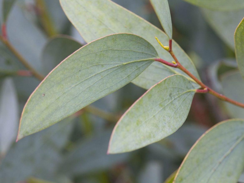 Cambia tu estado de ánimo con aromaterapia - eucalipto