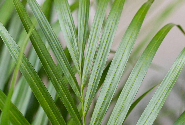 Si tienes gatos en casa, estas plantas son perfectas para tu jardín interior - palma-areca