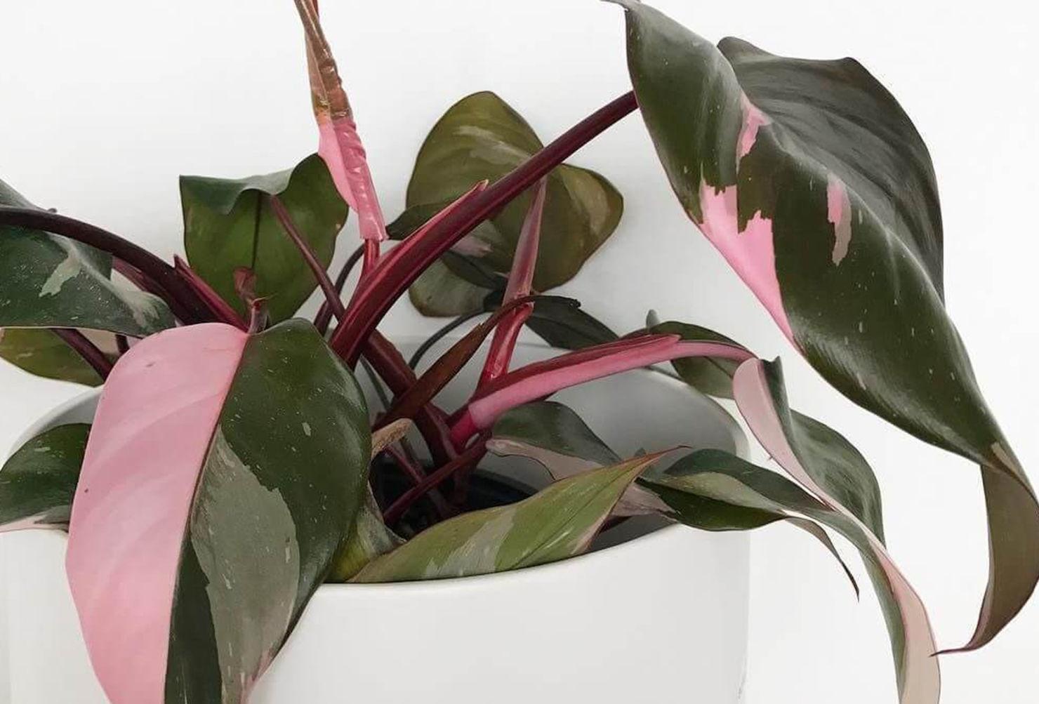 7 plantas para las amantes del color rosa en interiores