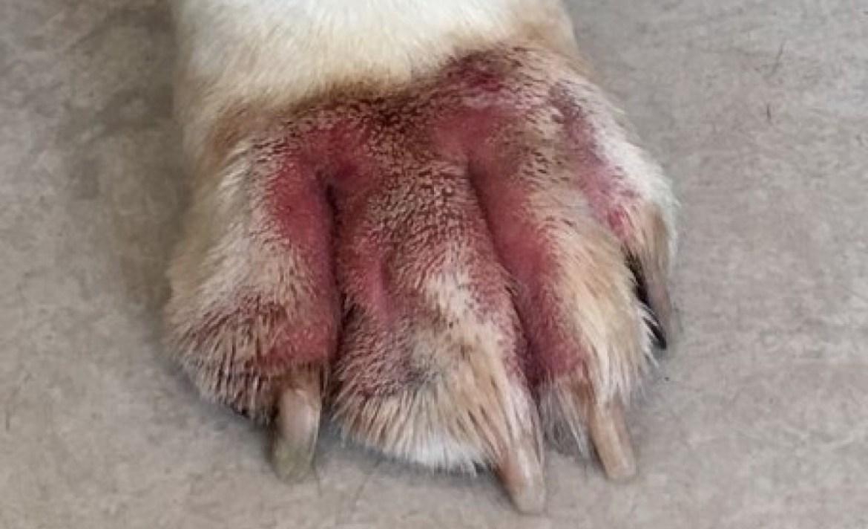 Estas son algunas de las alergias más comunes en los perros - dermatitis-perro
