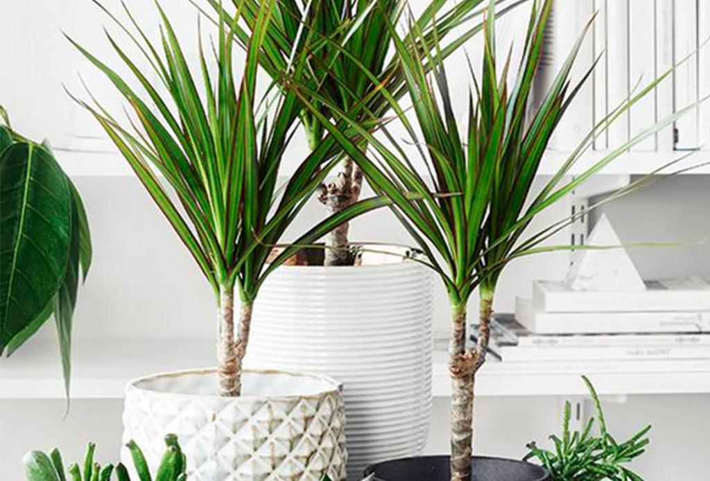 6 plantas ideales para espacios con poca luz natural - plantas-poca-luz-4