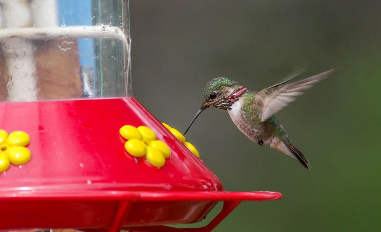 Cuatro razones para tener un bebedero de colibríes - colibri-comiendo