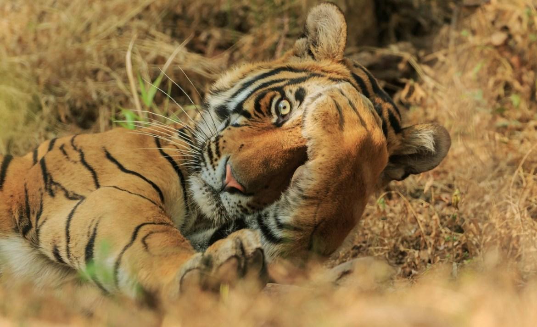¿Quieres reír? Estos son los finalistas del Comedy Wildlife Photo 2020 - foto-tigre-wildlife