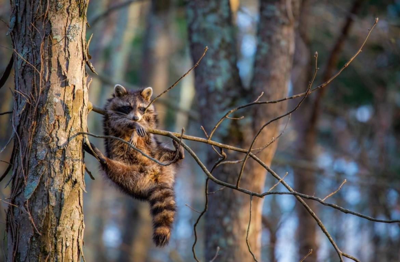 ¿Quieres reír? Estos son los finalistas del Comedy Wildlife Photo 2020 - foto-wildlife-mapache