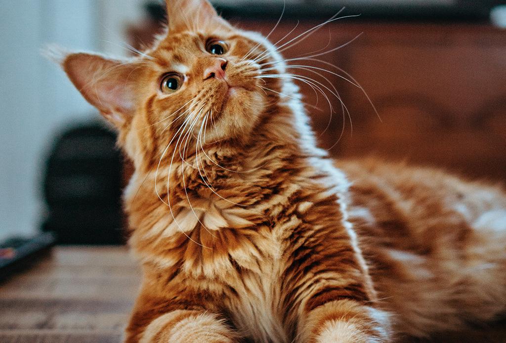 Los gatos naranjas son especiales, según la ciencia
