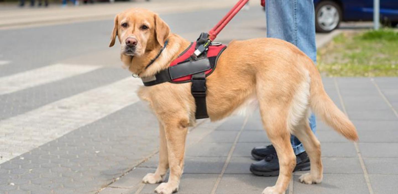 ¿Sabes cómo se entrena un perro guía? ¡Te contamos todo!
