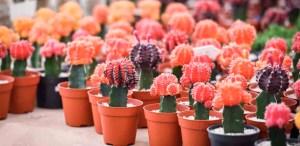 El cactus lunar es el toque de color que tu casa necesita
