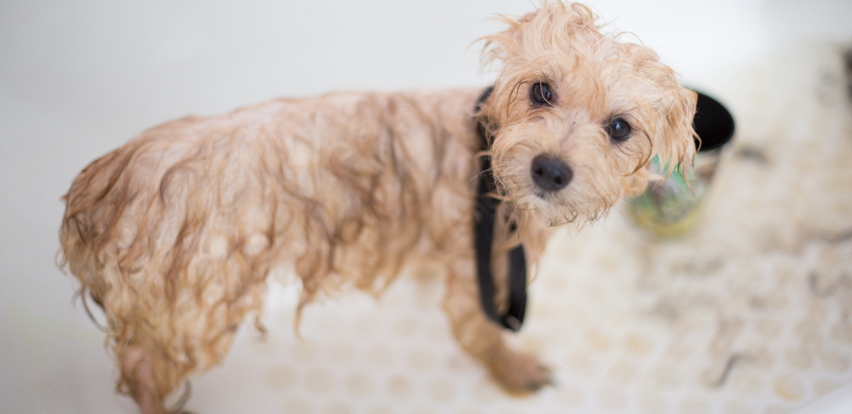 ¿Cómo bañar a tu perro correctamente? ¡5 tips imperdibles!