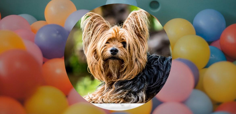 ¿Padeces de alergias? te decimos las razas  de perros hipoalergénicas - sabrina-17-2