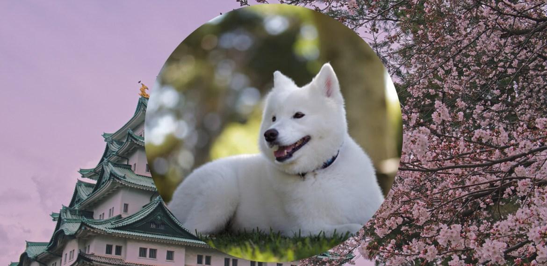 Razas de perros japoneses que te van a encantar - sabrina-2021-08-03t210840659