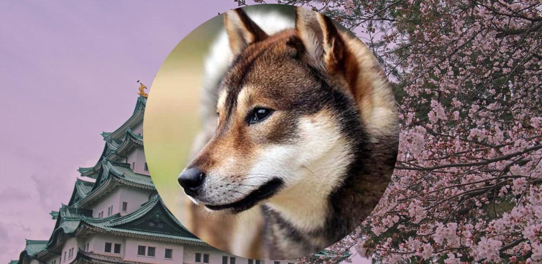 Razas de perros japoneses que te van a encantar - sabrina-2021-08-03t211129874