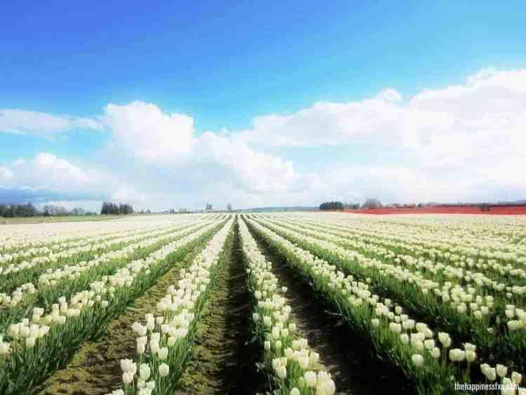 skagit-valley-washington-tulips