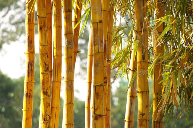 8 Fascinating Facts About Bamboo