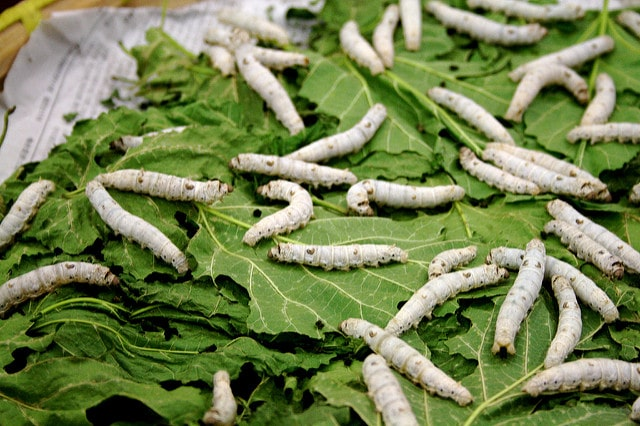 Silk worms - The Happy Bamboo