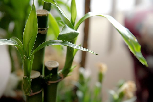 Is Lucky Bamboo a Real Bamboo
