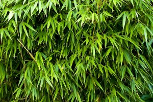 Is Bamboo Always Evergreen?