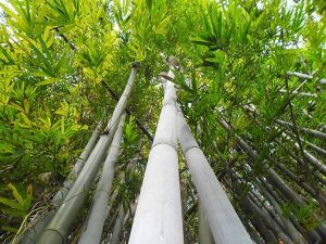 Grow Blue Bamboo