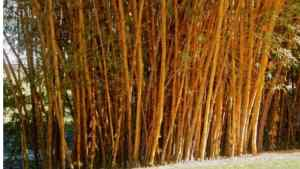 Read more about the article Zone 6 bamboo – 12 best species, care tips
