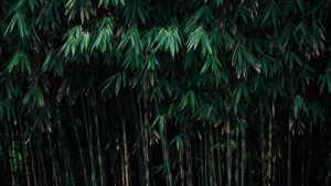 Bamboo for privacy – choosing the right species