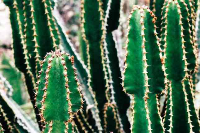 Cactus_South_Africa