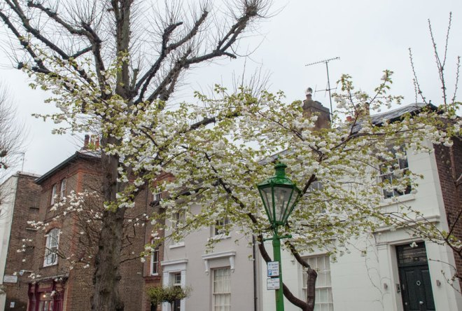 Addison-Avenue-Holland-Park- Cherry Blossom-London