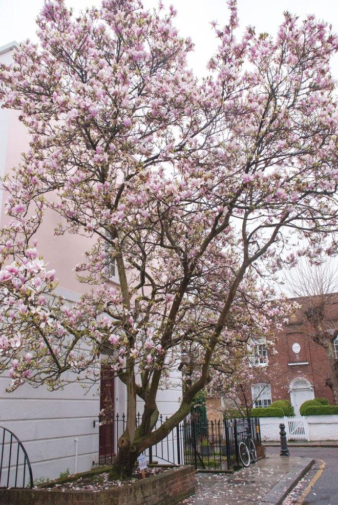 Bramerton-Street-Chelsea-Magnolia-Blossom-London