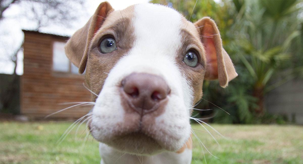 How Many American Bulldog Puppies